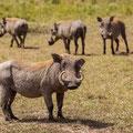 Ostafrikanisches Warzenschwein - Phacochoerus africanus massaicus