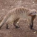 Zebramanguste - Mungos mungo