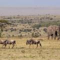 Gnus + Elefant