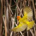Goldweber - African Golden Weaver - Ploceus subaureus