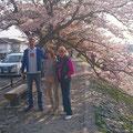 Cherry blossoms of Arashiyama