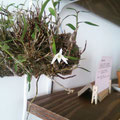 セッコク 12月なのに今ごろ花咲いた!
