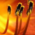 staubbeutel der feuerlilie