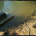 Vison d'Amérique cheminant sur la rive à proximité d'un radeau plastique