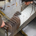 Extraction de la cage contenant le Vison d'Amérique
