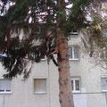 Baum fällen mit Seilklettertechnik