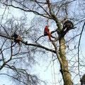 Baumeinkürzung mit Seilklettertechnik