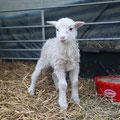 das erste Lamm ist geboren