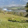 Dort geniessen die Tiere die Aussicht auf den Rhein.
