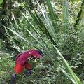 Cabuyablätter holen