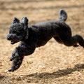 わが家のモデル犬、モンド。跳ぶように走ります(2009.04)