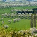 Les vergers de mirabelliers en fleur - Photo Michel Petit