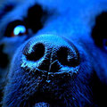 Blue nose Labrador :-)
