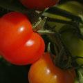 Tomaten -eigene Ernte-