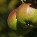 Äpfel -eigene Ernte-