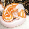 Piedbald Lavender Albino (Dreamsickle)