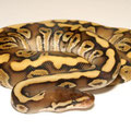 Woma Phantom