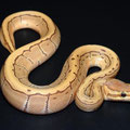 Pinstripe Caramel Albino