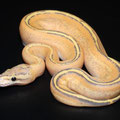 Genetic Stripe Pastel