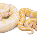 Albino y Albino Alto Contraste