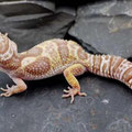 Mack Snow Tremper Albino