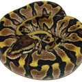 Yellow Belly Woma