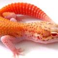 RADAR (AKA Eclipse Bell Albino)