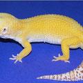 Sunglow Bell Albino (AKA SHTCT Bell Albino)
