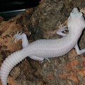 Super RAPTOR (AKA Super Snow Eclipse Tremper Albino)