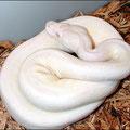 Axanthic Albino VPI snow