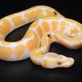 Paradox Lavender Albino