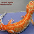 Tangerine Dorsal Stripe