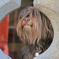 Brauner Tibet Terrier Raja, überhaupt nicht neugierig