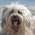 Tibet Terrier Lotta am Strand von Kronsgaard