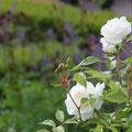 Blumenprachtpracht - Italienischer Renaissance-Garten