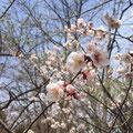 札幌もやっと春到来!