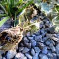 そしてここなんjかは、トゲをのこして葉っぱは完全に死滅してますわ!