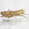 Heuschrecke, Zeichenkurs in der Entomologischen Sammlung Krefeld