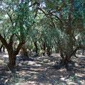 Einer der zahlreichen Olivenhaine der Insel