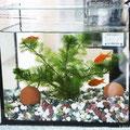 金魚の飼育(しいく)