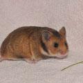 """D-10 *Daja* Weibchen wohnt bei Kirsten """"Happy Hamster"""""""