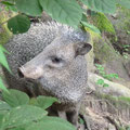 Our peccary @ Reserva Biologica Caoba