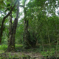 Some other trees @ Reserva Biologica Caoba