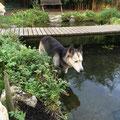 Skeena, unser Grosi, war früher eine echte Landratte; jetzt hat sie mit 14 Jahren noch Freude am Wasser-Treten bekommen und ist schon recht gut darin.