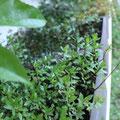 有茎草各種