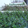 有茎草各種(ロタラ、ルドウィジアなど40種ほど)