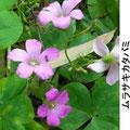 ムラサキカタバミ 5/22  要注意外来植物