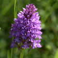 Orchis Pyramidale 3