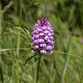 Orchis Pyramidale 2