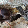 Nachkontrolle durch Spürhund Keno: es befindet sich kein weiterer Igel unter dem Boden